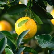 خواص به لیمو ، از پوست تا لاغری، که باید بدانید!